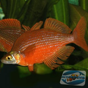 Tami River Rainbowfish Glossolepis pseudoincisus