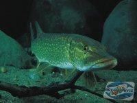 acvariul-populat-cu-specii-autohtone