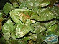 plante-neindicate-acvariilor