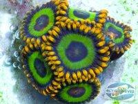 despre-reproducerea-coralilor