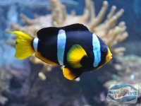inmultirea-pestilor-amphiprion-clarkii
